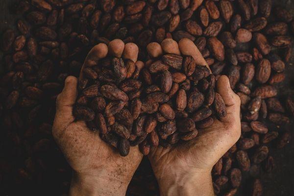 Foto di due mani piene di chicchi di cacao appena raccolti